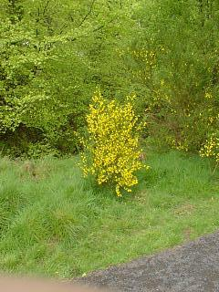 Golden gorse bush