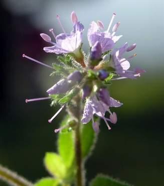 PLANTS Profile for Veronica (speedwell) | USDA PLANTS